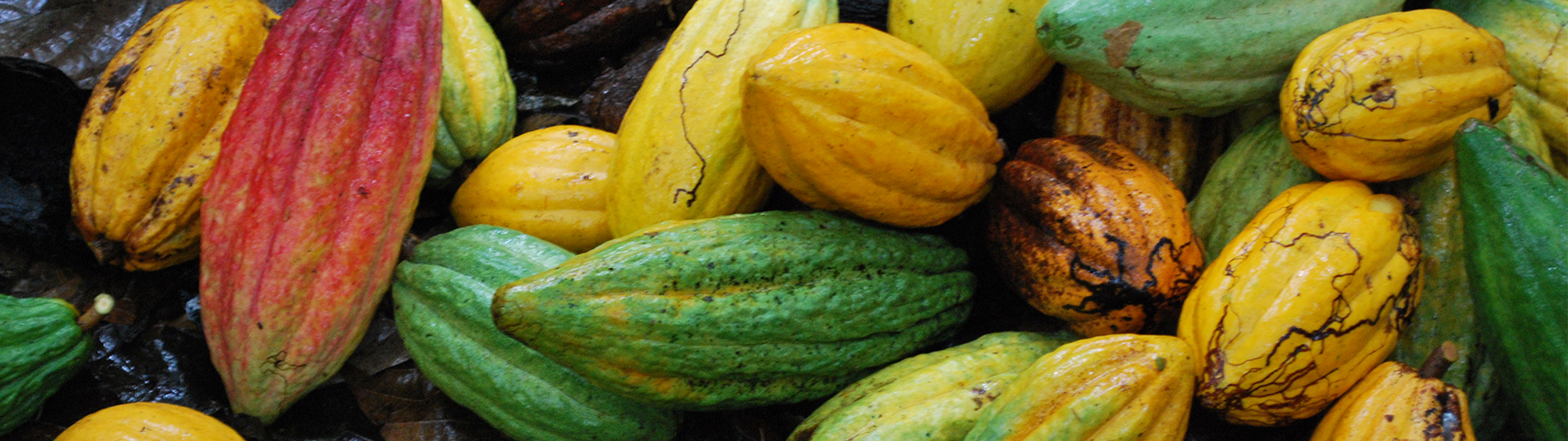 freshly harvested cacao pods